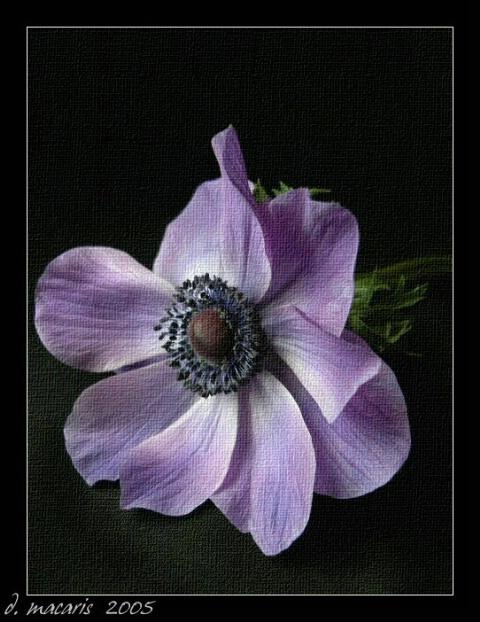 Purple Solitude - Anemone II