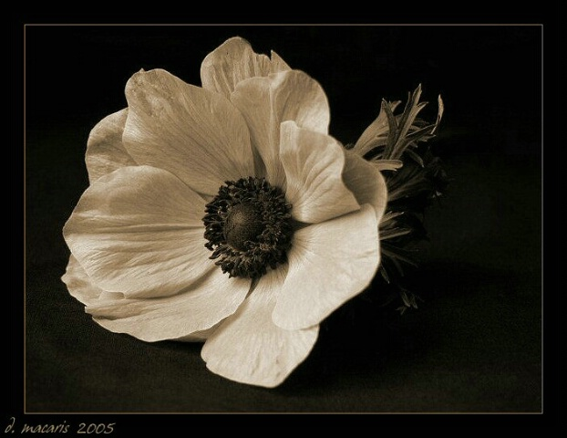 Aged to Perfection - Anemone IV