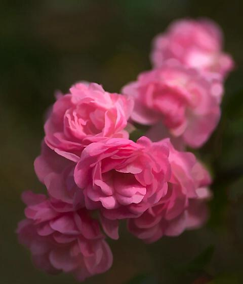 Fairy Roses