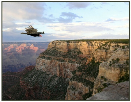 Vulture Over Grand Canyon