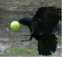 Crow in Flight carrying tennis ball