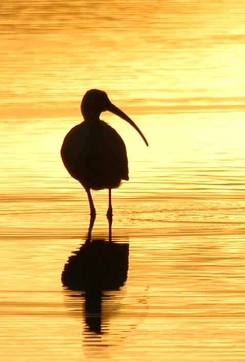 Ibis at Sunset