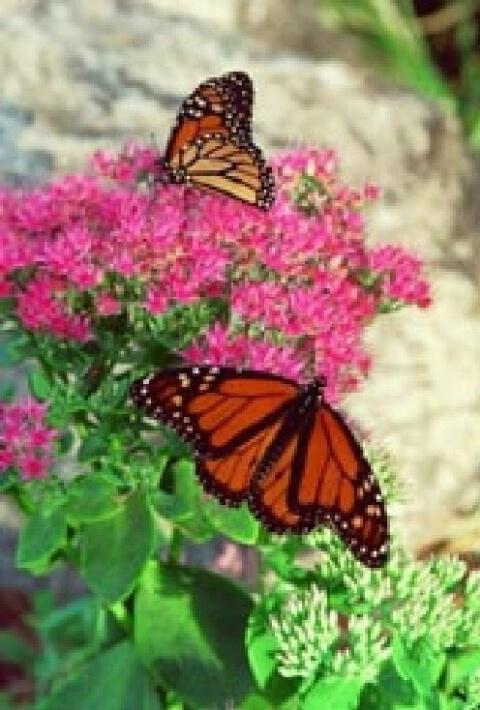 Two Monarchs - ID: 697017 © Deborah A. Prior