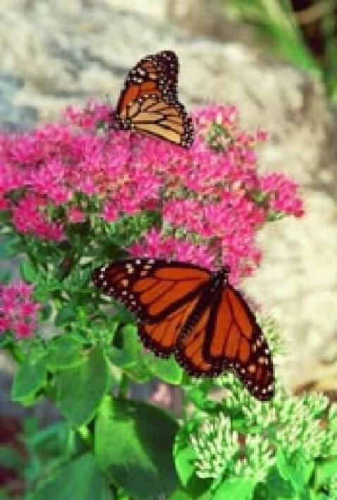Two Monarchs - ID: 697032 © Deborah A. Prior