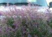Purple weeds befo...