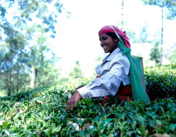 Picking Tea - ID: 698627 © Govind p. Garg
