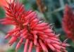 Aloe in bloom