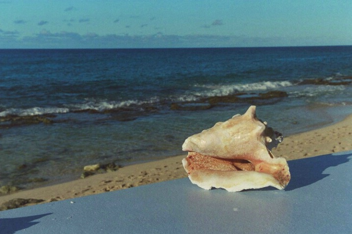 Caribbean Conch Shell - ID: 705220 © Deborah A. Prior