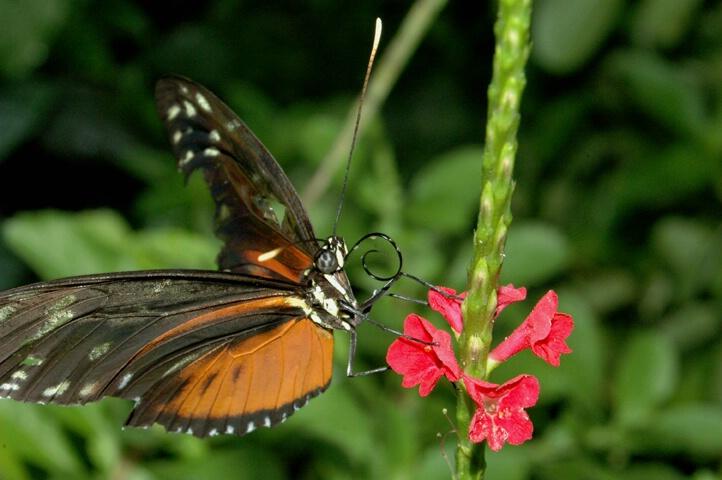 Tiger Longwing 5