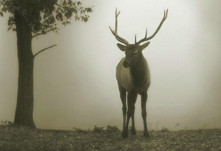 Elk In The Fog