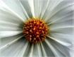 folds of petals
