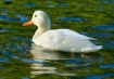 One White Duck