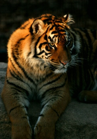 Tiger Light