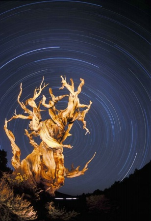 Ancient Bristlecone Startrail