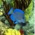 © Kristin A. Wall PhotoID # 745391: Blue tang F83
