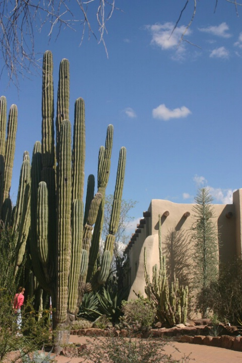 Organ Pipe Cactus 2
