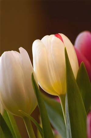 First tulips