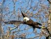 Eagle taking off ...