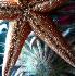 © Kristin A. Wall PhotoID # 757358: Starfish F152