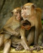 KL Macaque Family