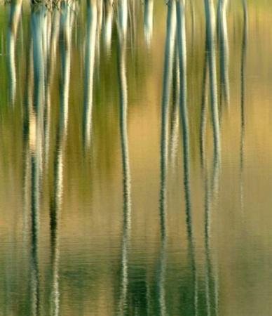 Reflection of Dead Tree Trunks