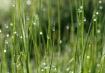 Grassy Drops