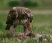 Hawk w/Prey (GRAP...