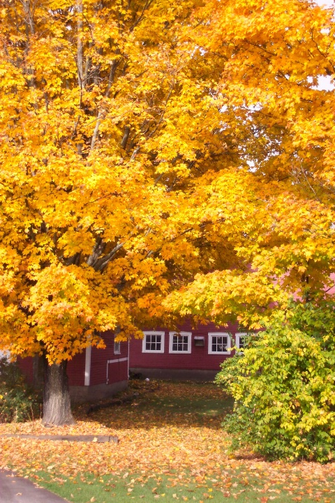 Golden Maples and Red Barn