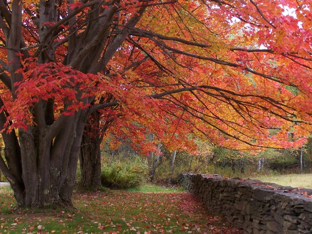 Red Maples and Stone Wall