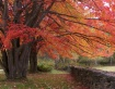 Red Maples and St...