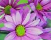 Psycadelic Daisys