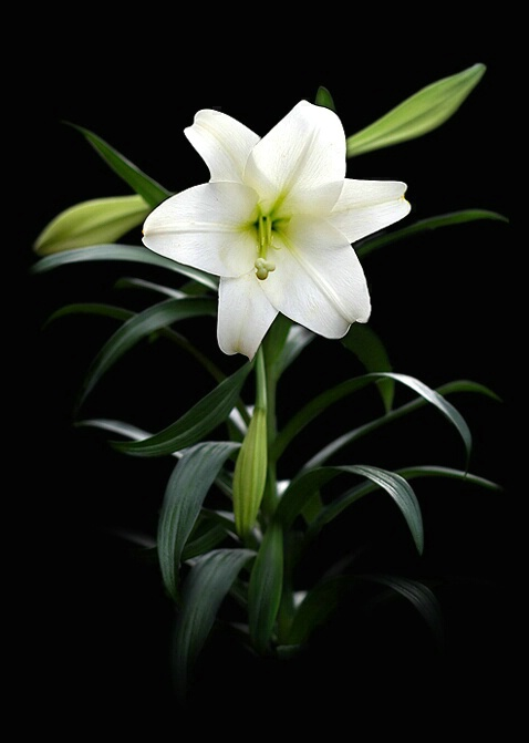 Easter Lily (f) - ID: 792172 © Eric Highfield