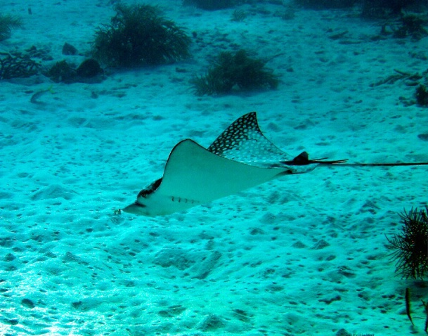 Spotted Eagle Ray 2 F174 - ID: 792921 © Kristin A. Wall