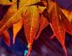 Colorful Maple Le...