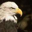 Bald Eagle Portra...