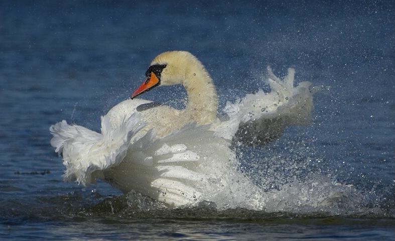 Swanbath