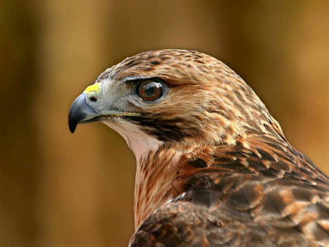 Portrait of a redtail