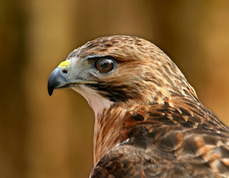 Portrait of a redtail