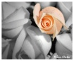 A rose amoung man...