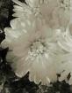 Blush Of A Flower