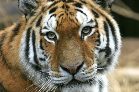 Tiger, taken at the Norfolk Zoo. Norfolk, Va.
