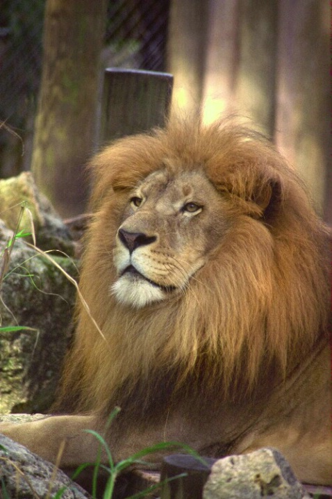 Lion - ID: 802638 © Deborah A. Prior