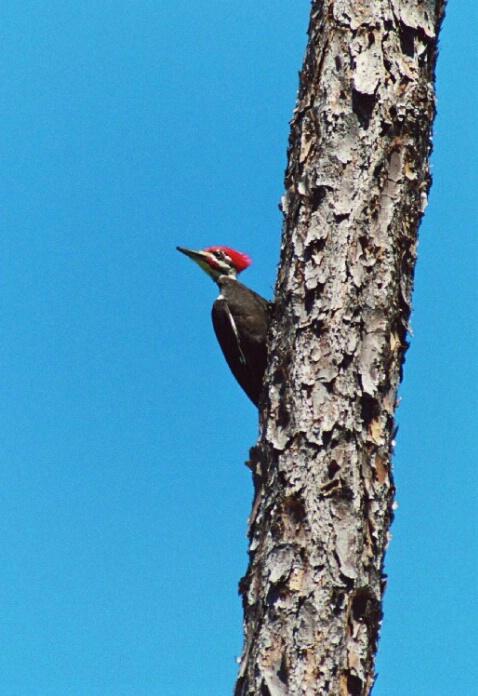 Pileated Wood pecker - ID: 802646 © Deborah A. Prior