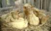 3 little pigs & c...