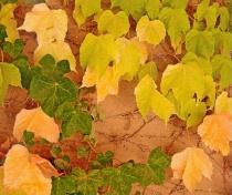 Autumn Leaves on Adobe Wall