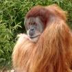 Orangutan Portrai...