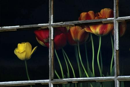 Window of Tulips