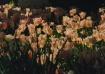 Porcelain Tulips