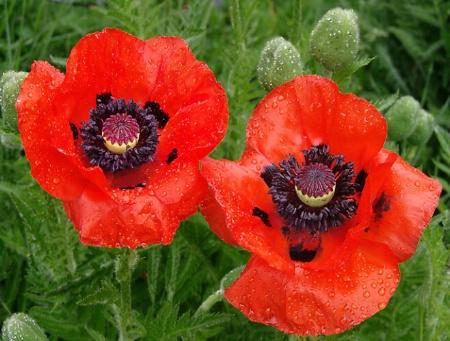 Red Poppy Duo