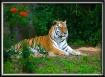 Tiger Daydreams